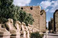 Avenue of goats in Luxor
